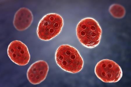 Cyst of Giardia intestinalis protozoan, formely known as G. lamblia or Lamblia intestinalis, a flagellated parasite that reproduces in the small intestine and causes giardiasis, 3D illustration Standard-Bild - 112327802