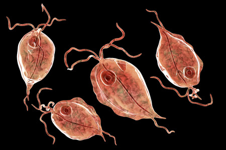 Pentatrichomonas hominis protozoan, 3D illustration. Also known as Trichomonas hominis or T. intestinalis, colonizes human large intestine, usually asymptomatic but may cause diarrhea Standard-Bild - 112328292