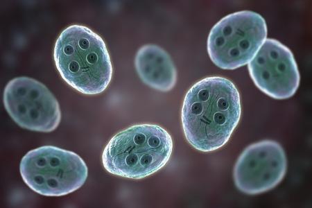 Cyst of Giardia intestinalis protozoan, formely known as G. lamblia or Lamblia intestinalis, a flagellated parasite that reproduces in the small intestine and causes giardiasis, 3D illustration Standard-Bild - 112328294