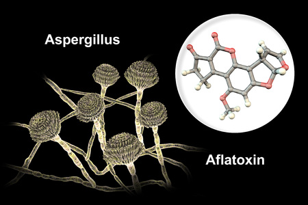 Fungi Aspergillus producing Aflatoxin B1, a potent carcinogen, 3D illustration. These fungi often contaminate corn, peanuts, cottonseed meal and other grains