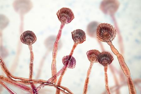 Fungus Aspergillus flavus, 3D illustration, a major producer of aflatoxin in crops, a potent carcinogen Stock Photo