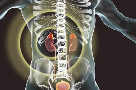 Kidney and adrenal glands highlighted inside human body, 3D illustration 写真素材