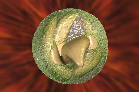 Release of sporozoites from Cryptosporidium parvum oocyst, 3D illustration. Cryptosporidium is a protozoan, microscopic parasite, the causative agent of the diarrheal disease cryptosporidiosis Stock Photo