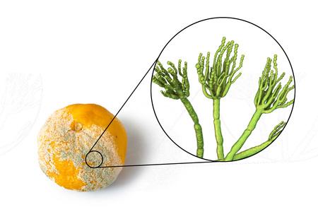 Mandarin with mold. Photo and 3D illustration of microscopic fungi Penicillium which cause food spoilage and produce antibiotic penicillin Archivio Fotografico - 115153757