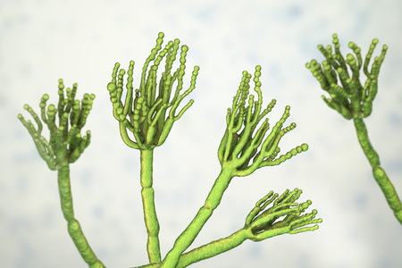 Fungi Penicillium which cause food spoilage and are used for production of the first antibiotic penicillin. 3D illustration showing spores conidia and conidiophore Фото со стока