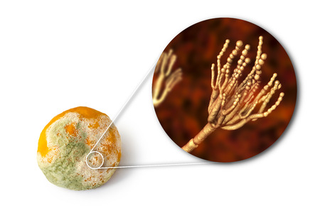 A mandarin with mold. Photo and 3D illustration of microscopic fungi Penicillium which cause food spoilage and produce antibiotic penicillin Archivio Fotografico - 115153777