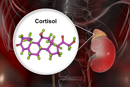 Molecule of cortisol hormone and adrenal gland, 3D illustration. Cortisol is a steroid hormone of glucocoticoid class made in the cortex of adrenals Stok Fotoğraf - 115153790