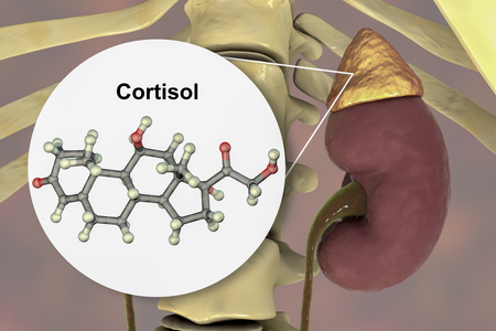 Molecule of cortisol hormone and adrenal gland, 3D illustration. Cortisol is a steroid hormone of glucocoticoid class made in the cortex of adrenals