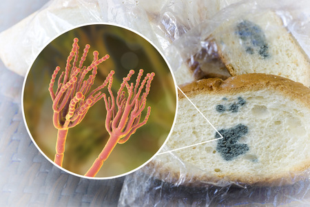 Mouldy bread and close-up view of Penicillium fungi, the causative agent of bread mould, photo and 3D illustration Stock Photo