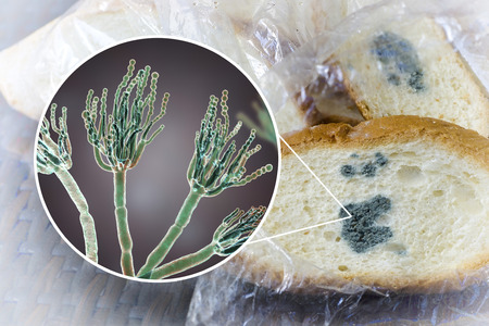 Mouldy bread and close-up view of Penicillium fungi, the causative agent of bread mould, photo and 3D illustration 写真素材