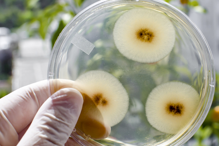 Colonies of mold fungi Aspergillus on Petri dish with nutrient agar on natural background, close-up view. Environmental microbiology and biotechnology background Stok Fotoğraf - 120353181