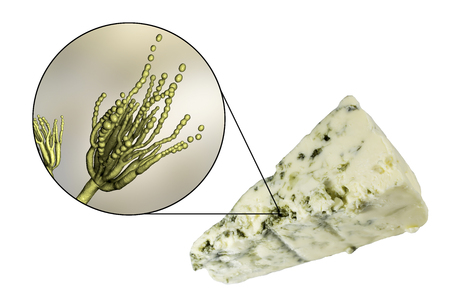Roquefort cheese and fungi Penicillium roqueforti, used in its production, photo and 3D illustration