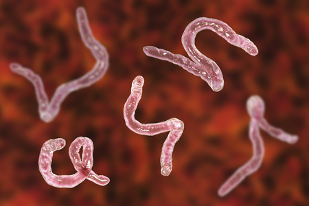 Parasitic hookworm Ancylosoma, 3D illustration. Ancylostoma duodenale can infect humans, dogs and cats, its head has several tooth-like structures Standard-Bild - 121110977