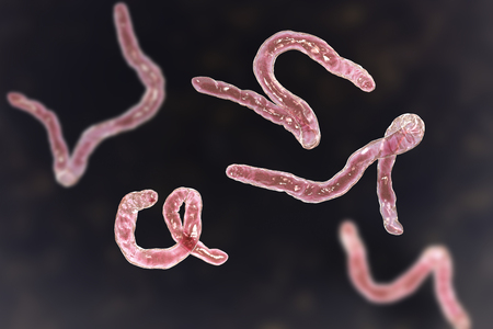 Parasitic hookworm Ancylosoma, 3D illustration. Ancylostoma duodenale can infect humans, dogs and cats, its head has several tooth-like structures Standard-Bild - 121110976