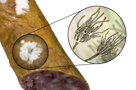 Colony of Penicillium mold on the surface of smoked sausage and closeup view of Penicillium fungus, photo and 3D illustration Imagens