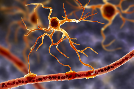 Astrocyte and blood vessel, 3D illustration. Astrocytes, brain glial cells, also known as astroglia, connect neuronal cells to blood vessels Foto de archivo