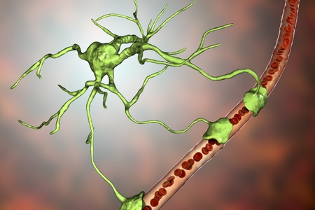 Astrocyte and blood vessel, 3D illustration. Astrocytes, brain glial cells, also known as astroglia, connect neuronal cells to blood vessels Stock Illustration - 123657881