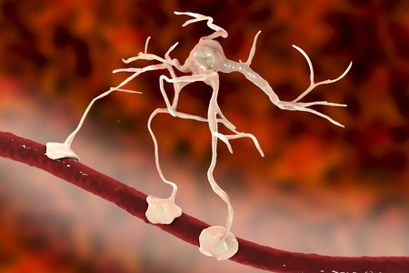 Astrocyte and blood vessel, 3D illustration. Astrocytes, brain glial cells, also known as astroglia, connect neuronal cells to blood vessels Stock Photo