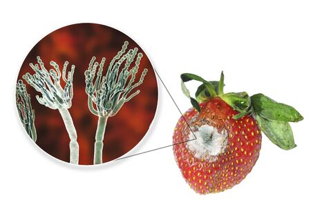 Strawberry with molds and closeup view of mold fungi Penicillium responsible for food spoilage, 3D illustration 스톡 콘텐츠