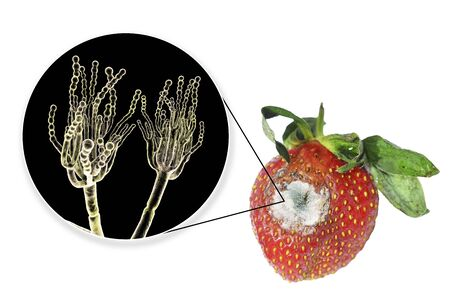 Strawberry with molds and closeup view of mold fungi Penicillium responsible for food spoilage, 3D illustration Archivio Fotografico - 125407140
