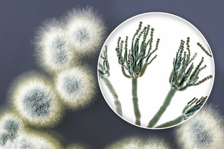 Penicillium mold fungi, 3D illustration and photo of colonies grown on nutrient medium