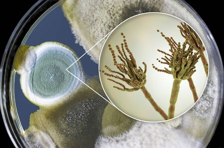 Penicillium mold fungi, 3D illustration and photo of colonies grown on nutrient medium Foto de archivo - 128015482