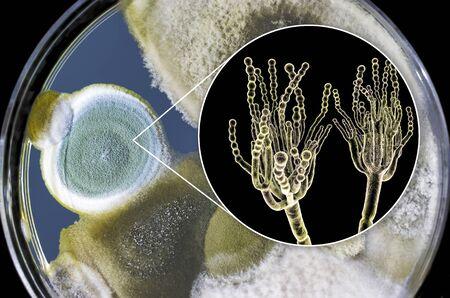 Penicillium mold fungi, 3D illustration and photo of colonies grown on nutrient medium