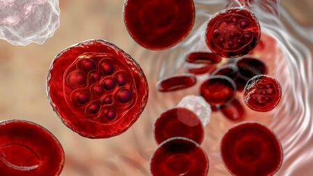 The malaria-infected red blood cells. 3D illustration showing malaria parasite Plasmodium vivax inside red blood cells in schizont stage