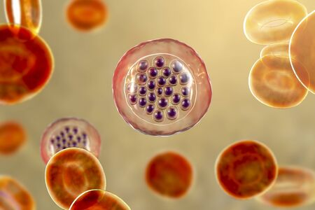 The malaria-infected red blood cells. 3D illustration showing malaria parasite Plasmodium falciparum in schizont stage inside red blood cells, the causative agent of tropical malaria