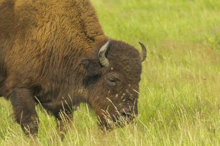 grazer: Bison grazing in Siberia, Russia