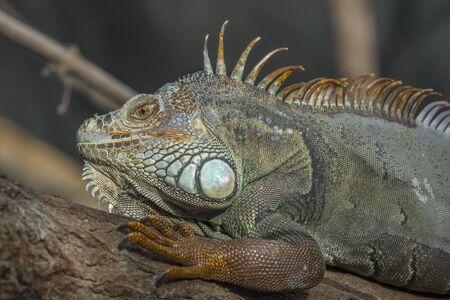 zoological: Green Iguana headshot at Paris Zoological Park Stock Photo