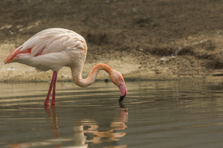 zoological: Greater flamingo looking for food at Paris Zoological Park Stock Photo