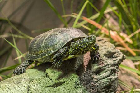 zoological: European Pond Turtle at Paris Zoological Park