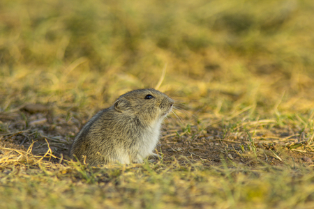 Mongolian Gerbil exiting its ground hole in the Mongolian Steppe