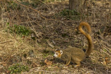 zoological: Crowned Lemur in the ground at Paris Zoological Park