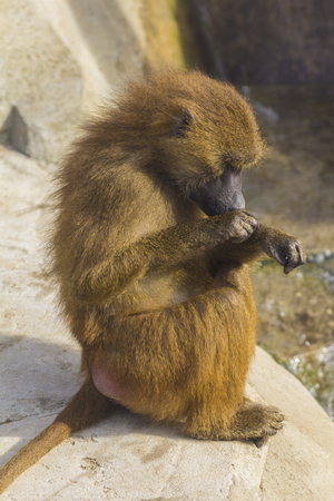zoological: Guinean Baboon grooming itself at Paris Zoological Park