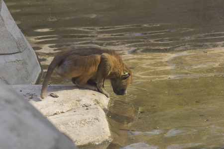 zoological: Guinean Baboon drinking water at Paris Zoological Park