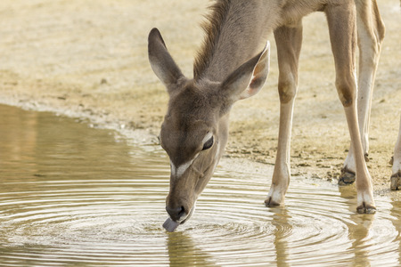 zoological: Portrait of a female Greater Kudu drinking water at Paris Zoological Park Stock Photo
