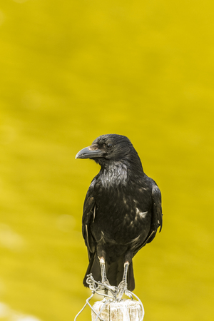 corax: Common Raven standing in a pole near Daumesnil lake in the Vincennes forest at Paris, France Stock Photo