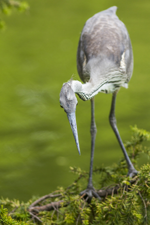 grey heron: one young grey heron looking for food, fishing, hunting Stock Photo