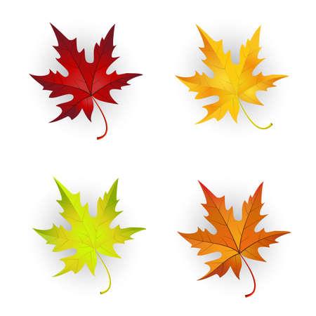 fall leaf: Autumn Maple Leaves Set. Elegant Cute Design  Suitable for Creating Different Autumn Designs. Vector Illustration.