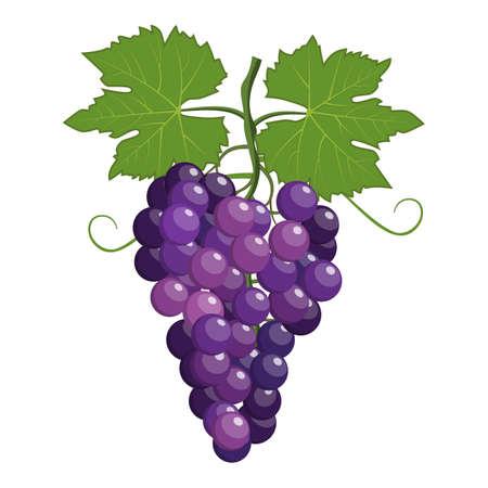 bunch: Fresh bunch of grapes purple