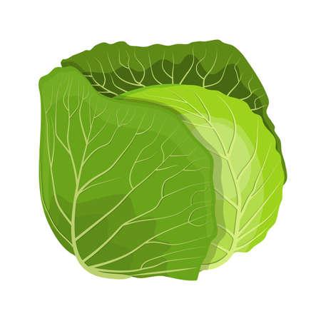 Fresh green cabbage vegetable