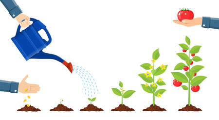 Growth of plant in pot, from sprout to vegetable. Illustration