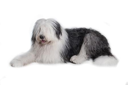 sheepdog: old english sheepdog isolated on white background