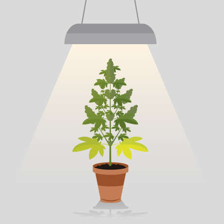 strain: Medical cannabis plant in pot legal under the built in lamp light. Leafs, strain and flowerpot. Flat design style. Illustration