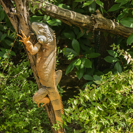 Iguana on a tree during a sunny day