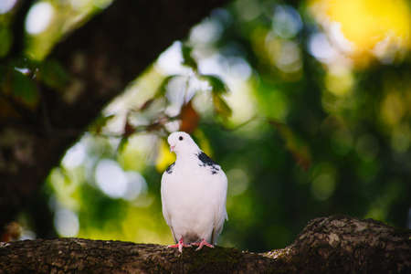 pigeon: White dove sitting on a tree branch