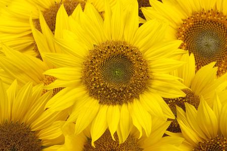 Sun flower: Sonnenblumen nahaufnahme