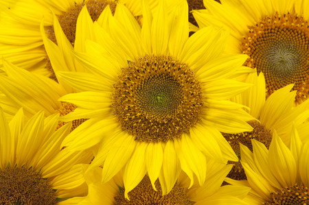 sun flowers: Sunflowers closeup